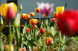 A rainbow of colorful tulips at Camden Maine Stay are the result of Roberta's handiwork and Claudio's photography!