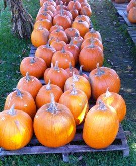 pumpkin hunting at the local farm markets.