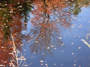 Fall2013-Megunticook Lake in Camden-leavesinwater-Claudiophoto