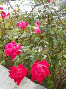Beautiful roses beside Cliffside Inn.