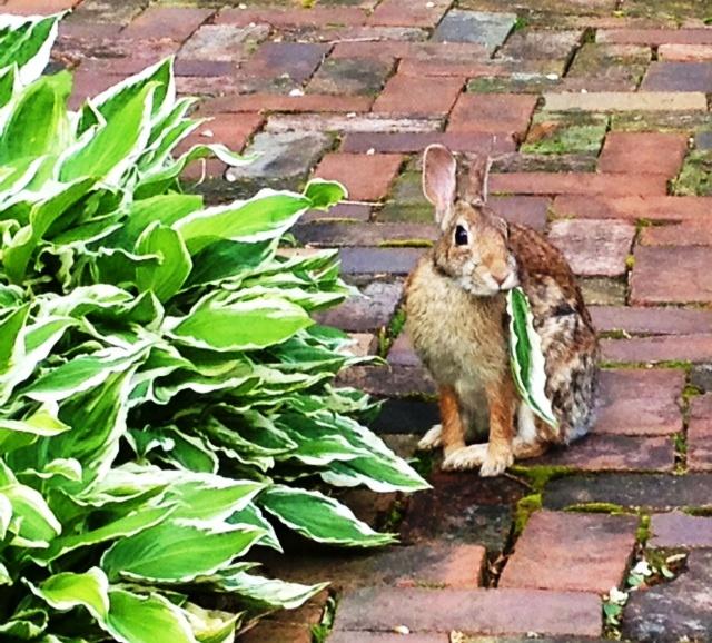 Rabbit at Captain's House Inn