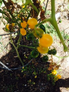 Tomatoes on the vine at Captain's House Inn are used for yummy items at breakfast and tea-time.
