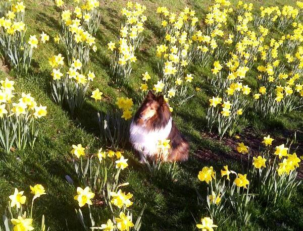 Cliffside Inn's mascot Koty, sitting in the spring daffodils