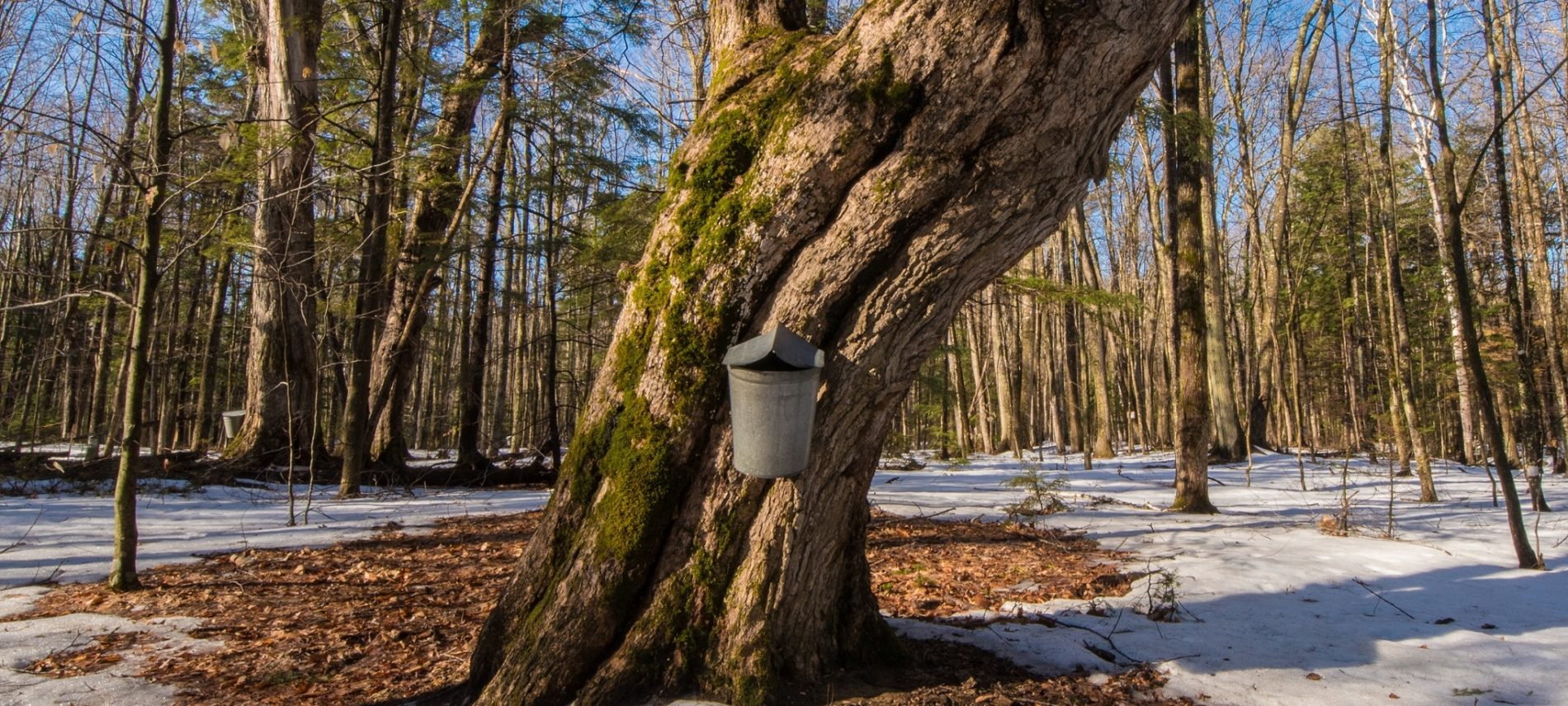 Maple trees in 100 acre wood, Intervale, NH