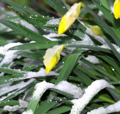 Snow covered daffodils at the Manor on Golden Pond