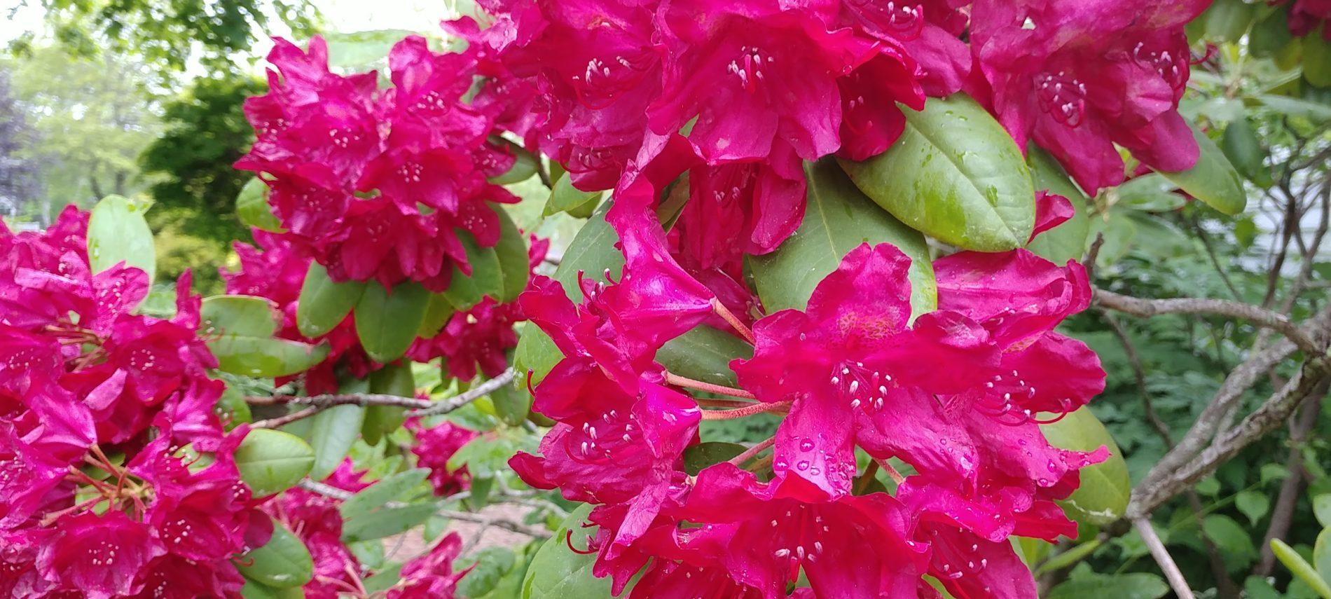 Pink azaleas bloom in the gardens around Captain Jefferds Inn