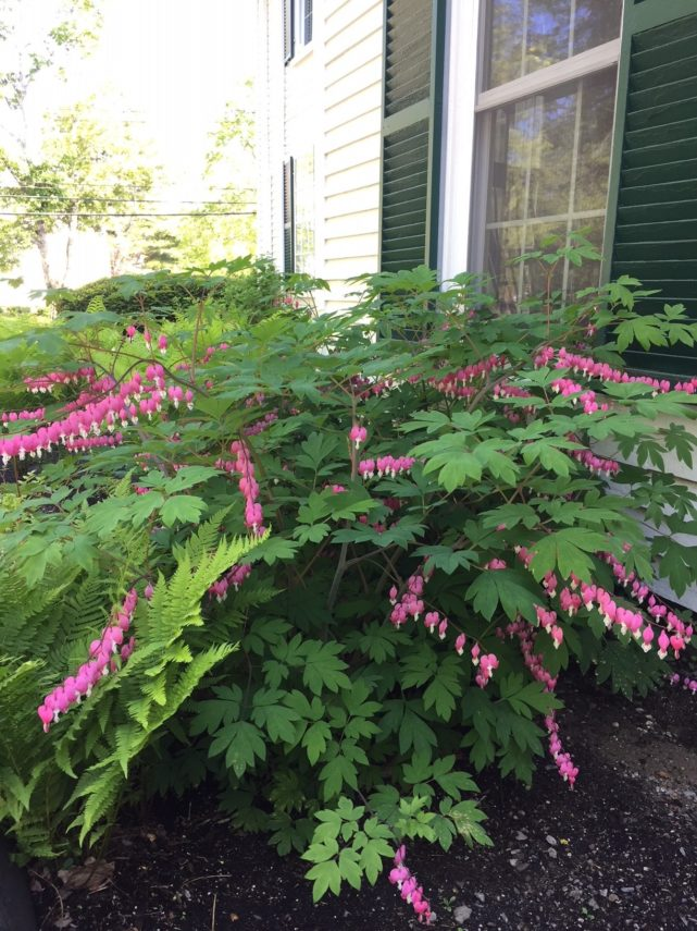 Bleeding Hearts plant at Camden Maine Stay Inn