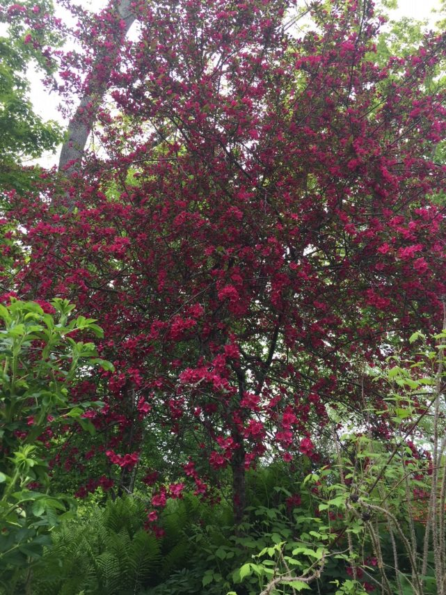 A flowering crab tree at Camden Maine Stay Inn