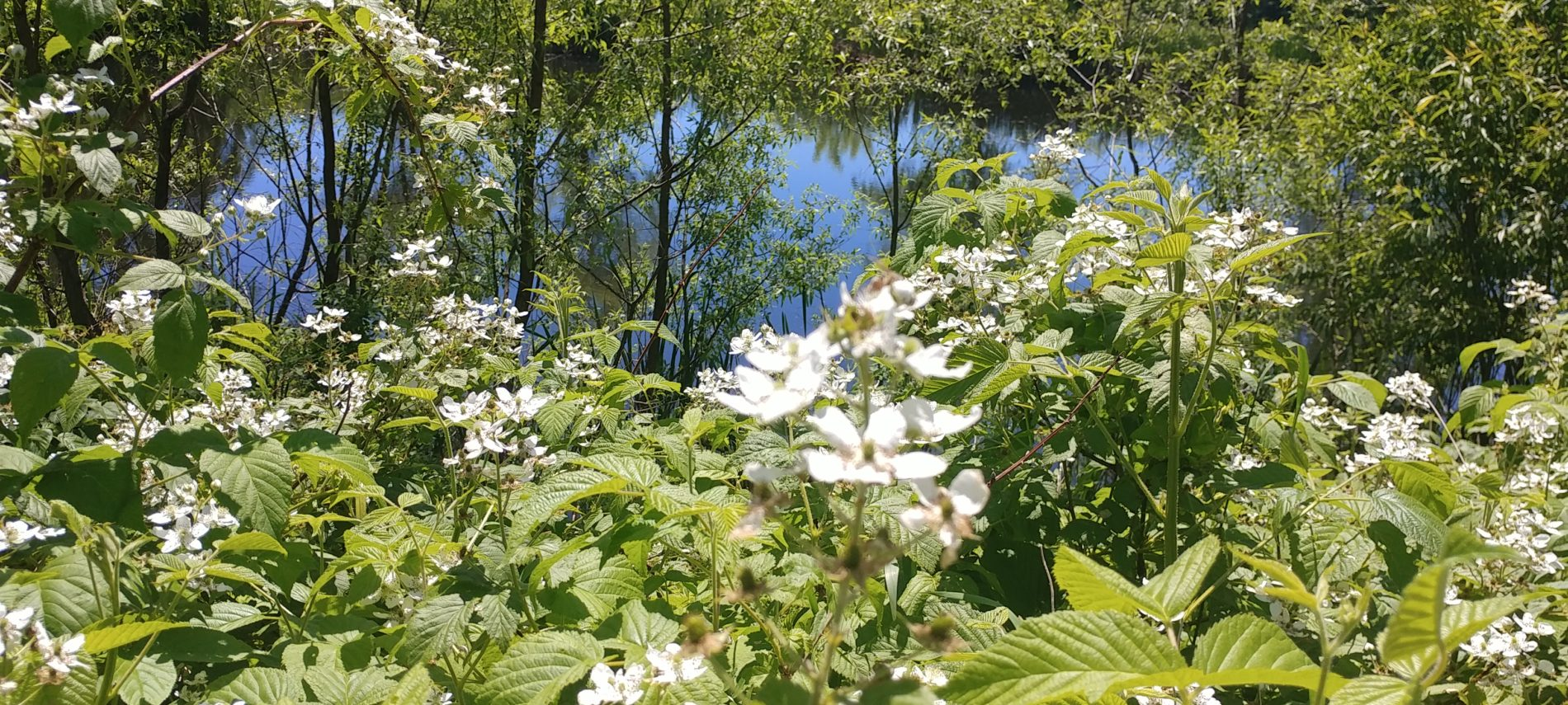 white flowering bushes surround the pond at the Chesterfield Inn