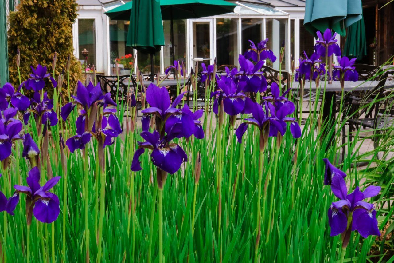 Irises in bloom at Grafton Inn