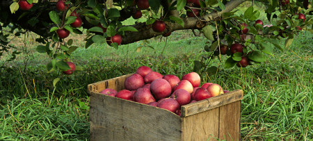 Apples in a wooden box rest on the grass under a heavily laden apple tree.